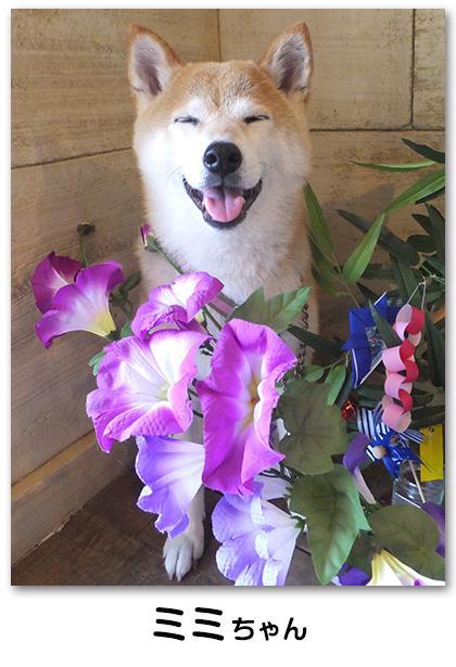 ミミちゃん 柴犬